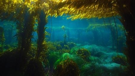 Giant-kelp-forest-near-San-Clemente-Island-California-20160604