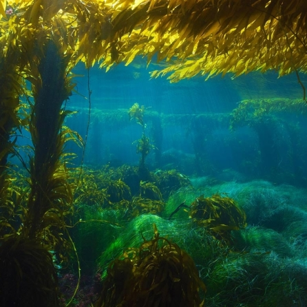 Giant-kelp-forest-near-San-Clemente-Island-California-20160604