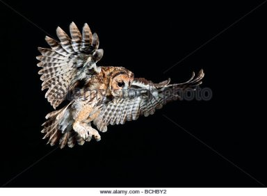tawny-owl-strix-aluco-in-flight-at-night-bchby2
