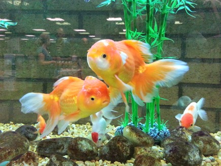 fancy goldfish3