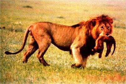 LionInfanticide
