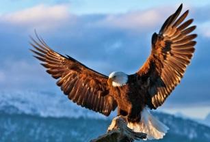 o-BALD-EAGLE-free