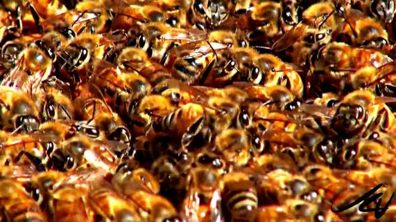 BeeColony