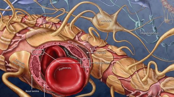 blood-brain-barrier