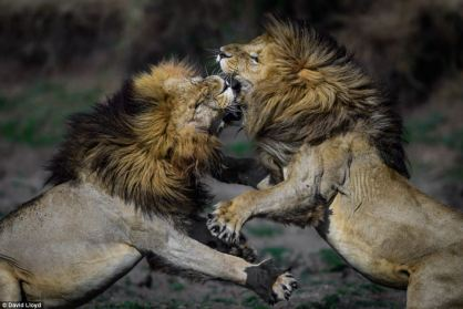 Male Lion Fight